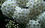 26---子てまりの花