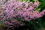 16----境内の桜の花