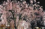 15---恵福寺の枝垂れ桜