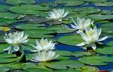 5.28----睡蓮の花