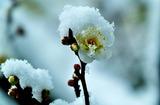 15---白梅に雪