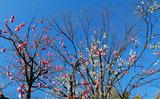 19---冬枯れの木と梅の花