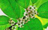 6.04----ウメモドキの花1