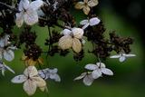 11.02----甘茶の枯れ花