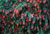 6.01----花壇4ブラシの花