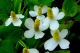 6.06---ドクダミの花