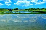 5.29----大原野の水田