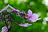 6.16----アジサイの花3