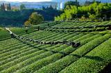 11.10----茶畑