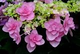 5.31----花紫陽花