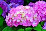 6.19----アジサイの花1