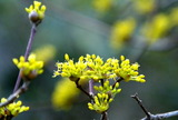 11----サンシュユの花