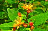 6.06----神応寺本堂前のヒペリカムの花と実