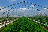5.27----野菜畑露地栽培中