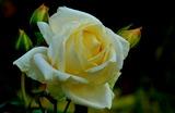 11.07----バラの花