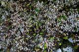 6.09----ユキノシタの花
