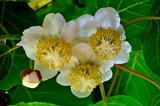 5.25----キ-ウィフルーツの花