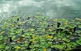 13----水蓮の葉