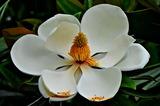 6.05----タイサンボクの花