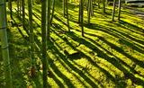 19---竹林の影