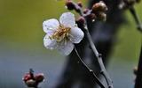 08---白梅の花