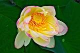 6.18----蓮の花