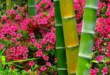 6.04----竹とサツキ