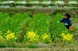 07----食用の菜花の収穫