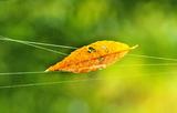 15----蜘蛛の糸にかかった地理落ち葉