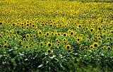 03----ヒマワリの花