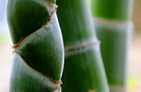 5.26----破竹の勢い亀甲竹と孟宗竹