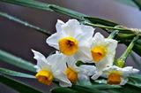 20---水仙の花