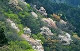 20---山の桜