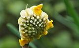 01---三椏の花