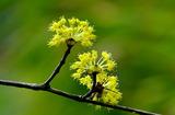 18----サンシュユの花