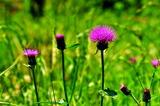 6.09----ノアザミの花