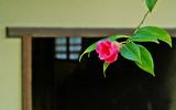 19---侘助の花