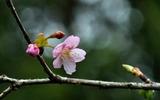 01---河津桜