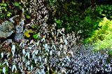 6.09----ユキノシタの花.1