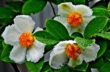 6.19----夏椿の花