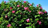 21----芙蓉の花