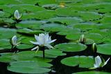 6.01----水辺の花スイレン