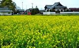 19---菜の花畑