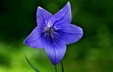 06----桔梗の花
