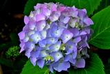 5.30----紫陽花4