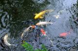 5.26----池の鯉