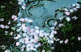 26---桜の花びら
