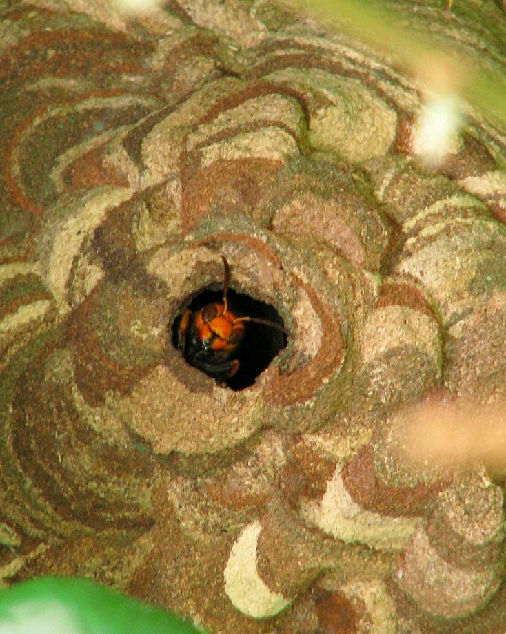 スズメバチの画像 p1_39