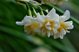 12----水仙の花