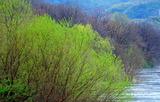 21----宇治川堤防の芽吹き